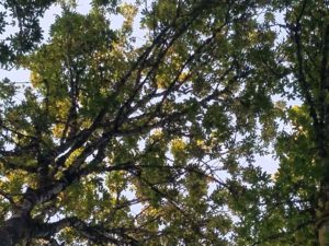 "The ""roof"" of the maple grove at TLC Farm"